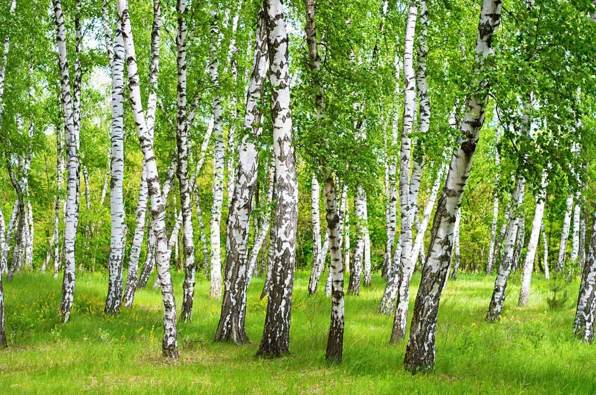 Che parti della betulla si possono utilizzare?