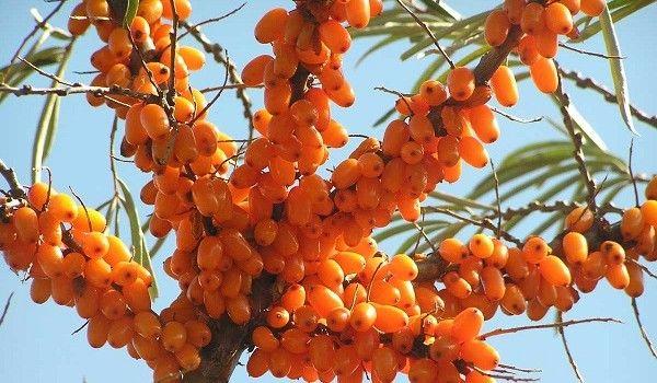 olivello-spinoso-1