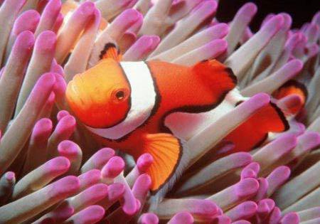 Anemone di mare un tripudio di colori da non toccare for Pesce pagliaccio foto