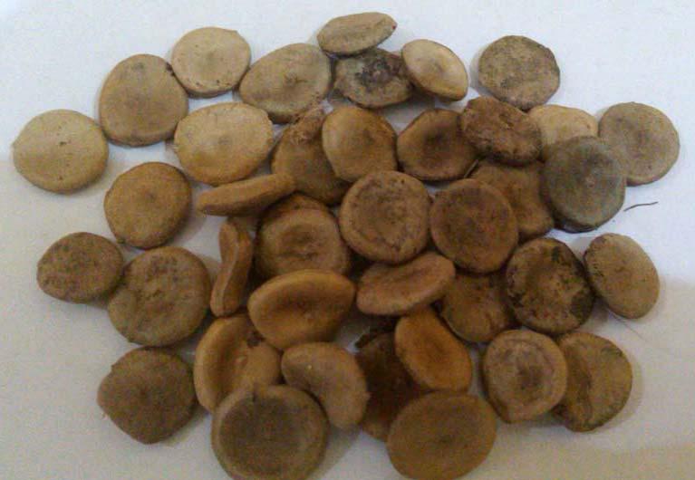 nuxvomica-seeds-kuchila-1159591