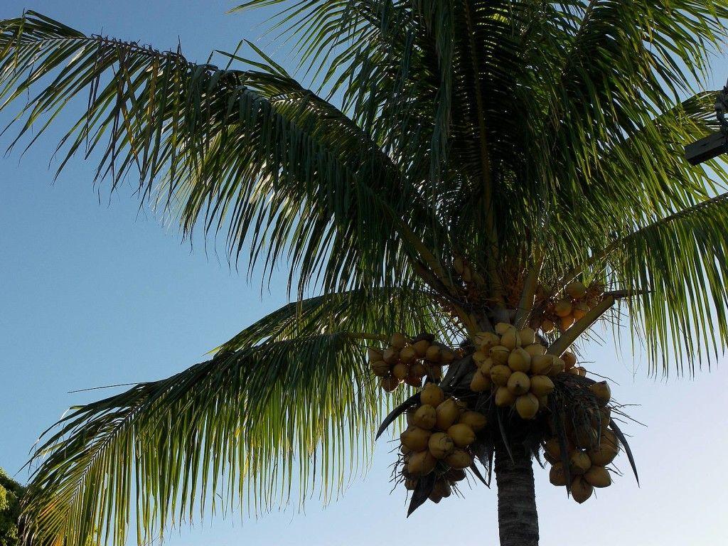 palm-coconut-zoom
