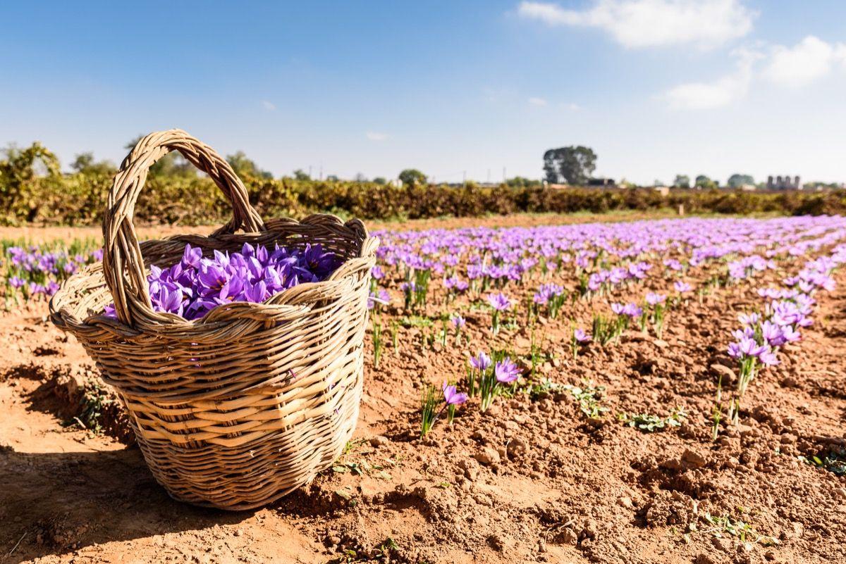 Come coltivare lo zafferano (in vaso e nell'orto) - GreenMe.it