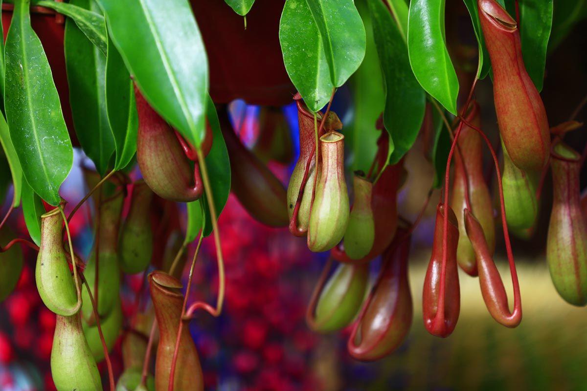 La coltivazione delle piante carnivore