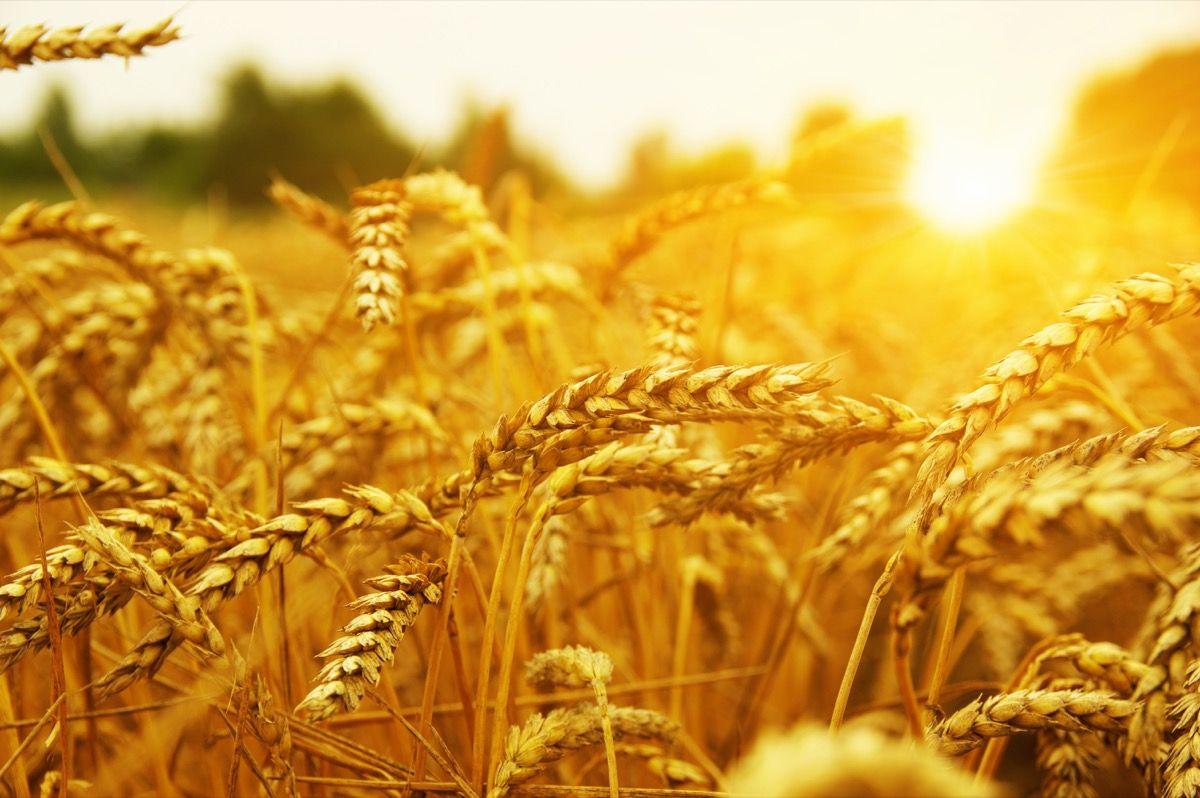 Caratteristiche Erba di grano