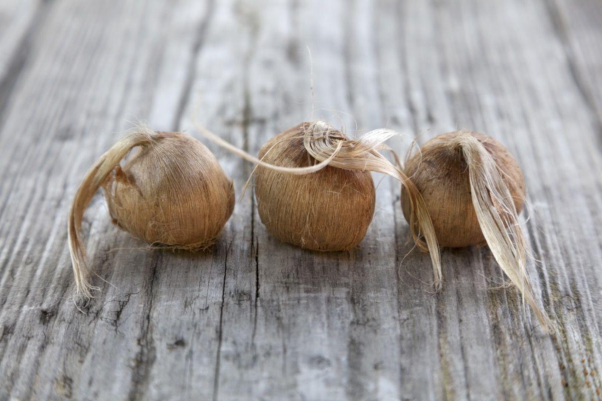 Come coltivare i bulbi di zafferano