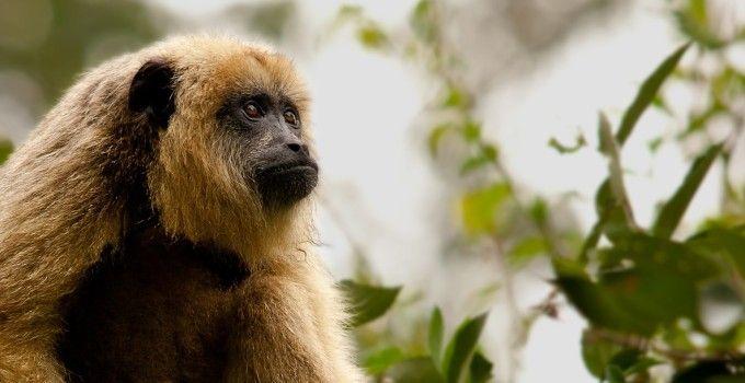 scimmia-urlatrice-1