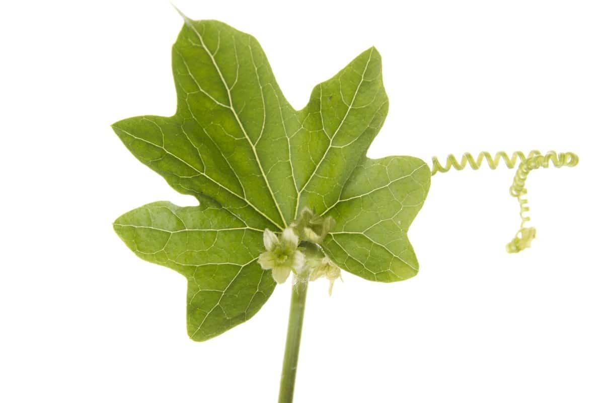 bryonia>: per curare alcuni disturbi ed alcune malattie