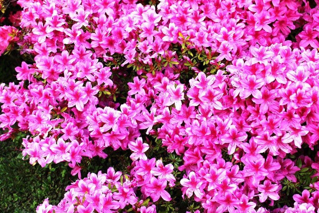 consigli_piante_azalea_japonica-1024x683