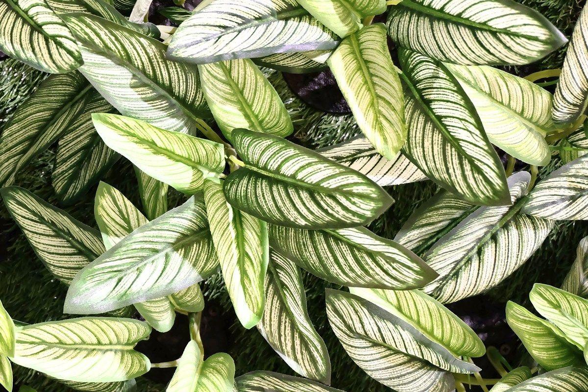 dieffenbachia: le varietà
