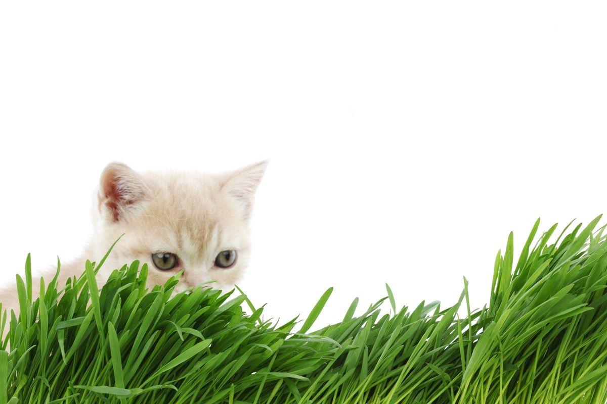 usi curativi dell'erba gatta
