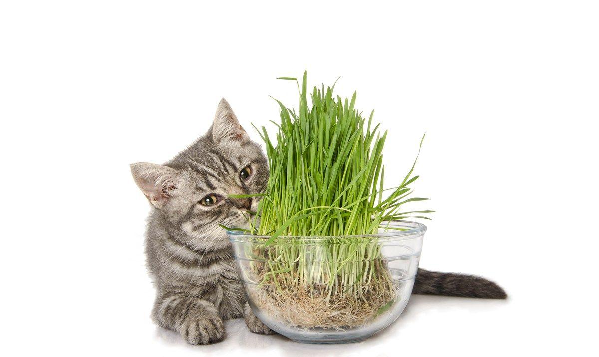 erba gatta: l'effetto che fa impazzire i felini