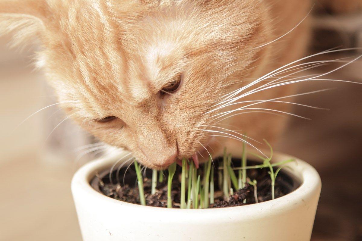 erba gatta: effetto sui gatti