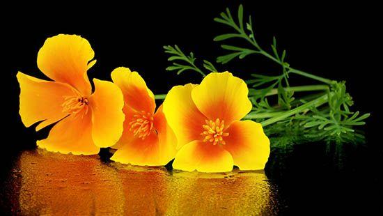 escolzia_fiori