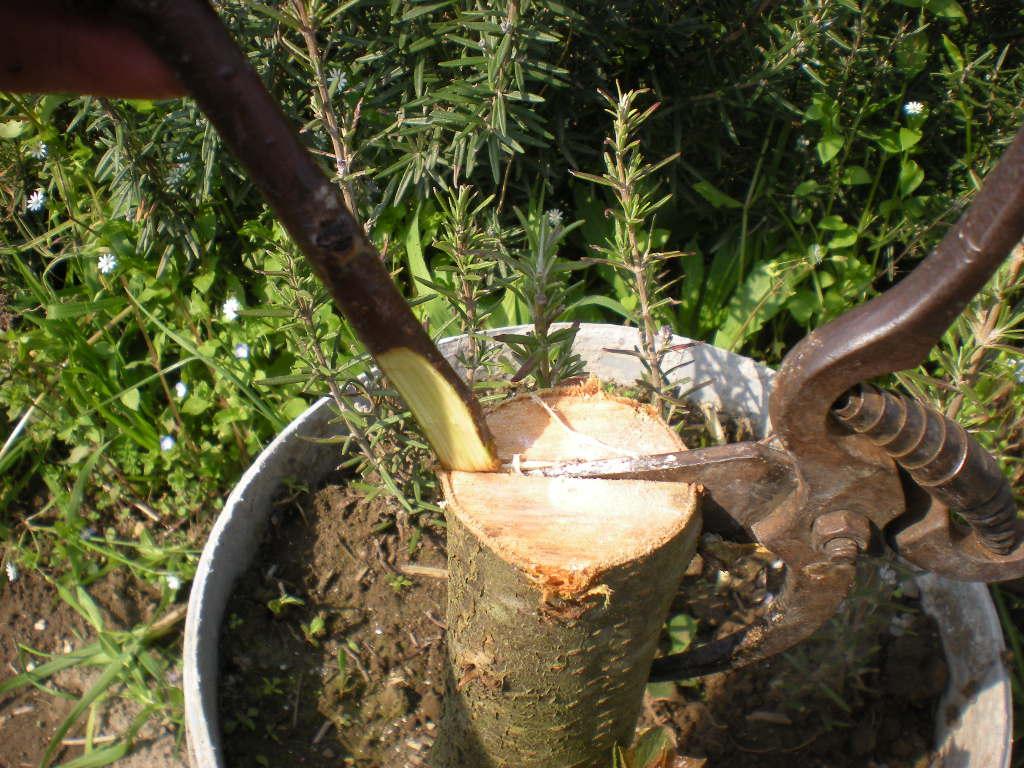 Innesto a spacco per favorire lo sviluppo della pianta for Ingegnoli piante
