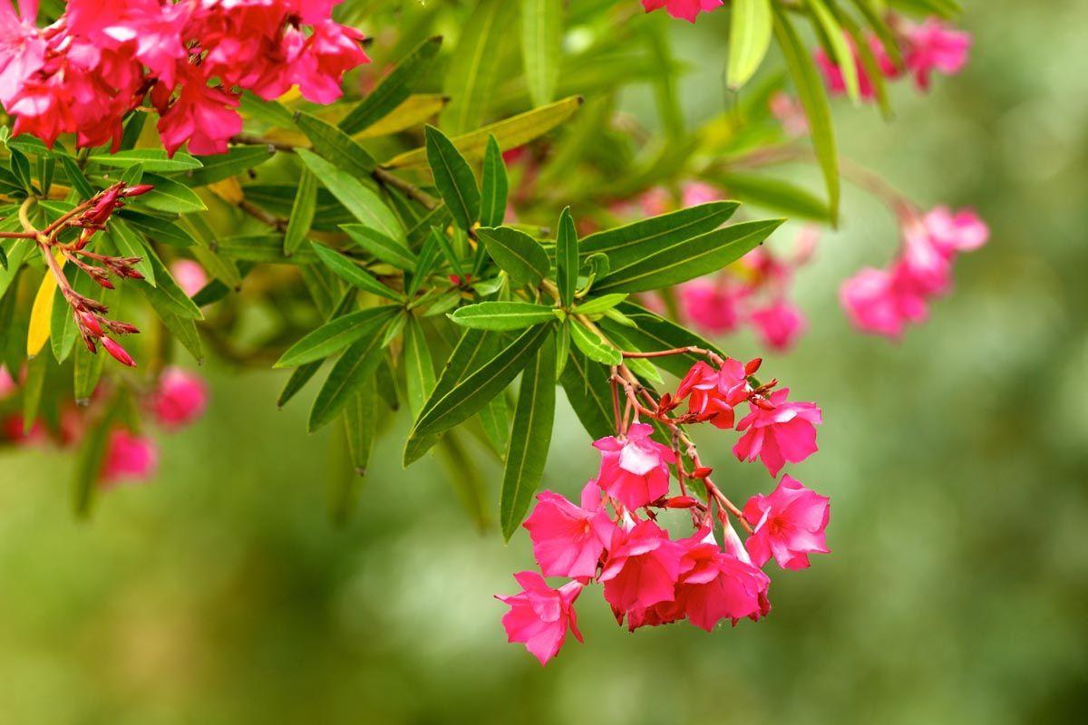Come si coltiva la pianta di oleandro