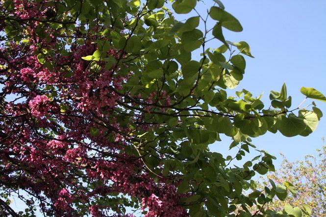 albero-giuda-foglie