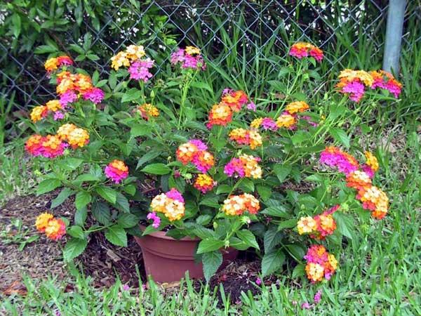 Lantana pianta bella con fiori profumati per il giardino - Verbena pianta ...