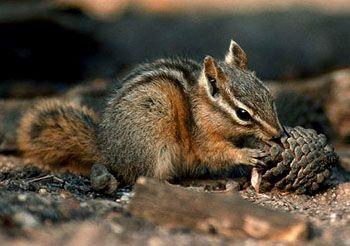 scoiattolo-giapponese-3