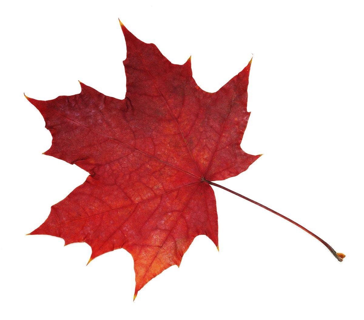 Acero Radici Invasive acero rosso: colori splendidi per un giardino da sogno