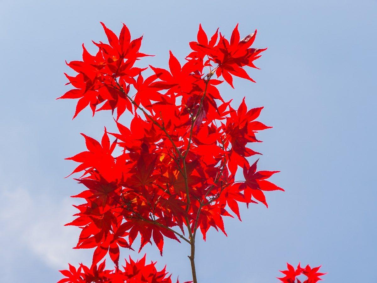 acero rosso: come farlo crescere