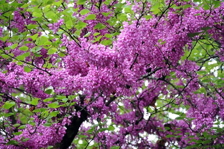 albero-di-giuda_ng9