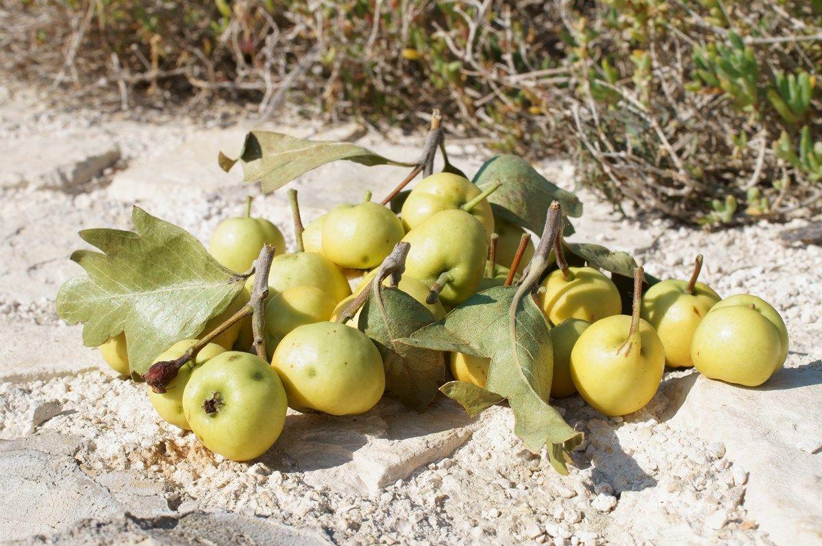 i frutti dell'azzeruolo