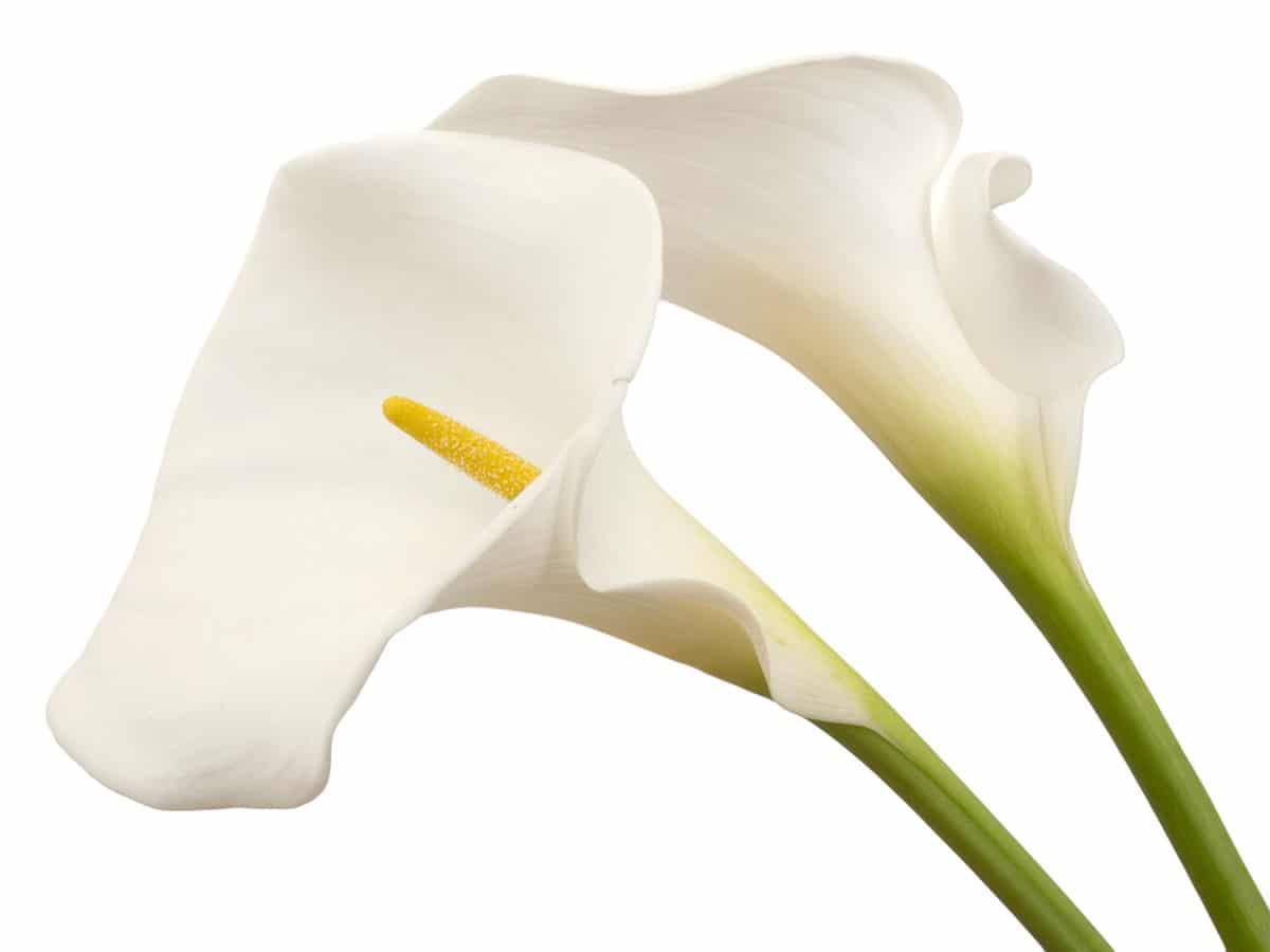calla selvatica: la fioritura