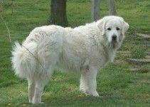 cane-da-montagna-dei-pirenei3