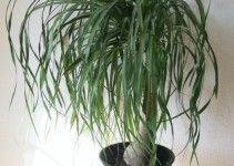 come-coltivare-beaucarnea-recurvata-pianta-mangiafumo-5