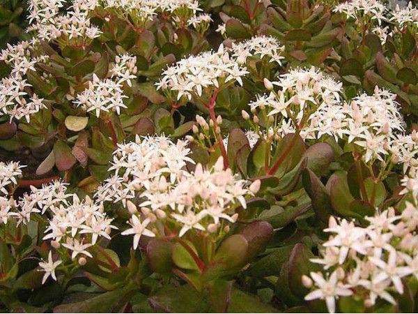 crassula-ovata-fiori