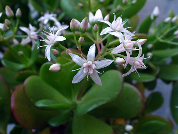 crassula-ovata-fioritura