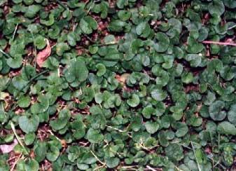 dichondra-repens-3
