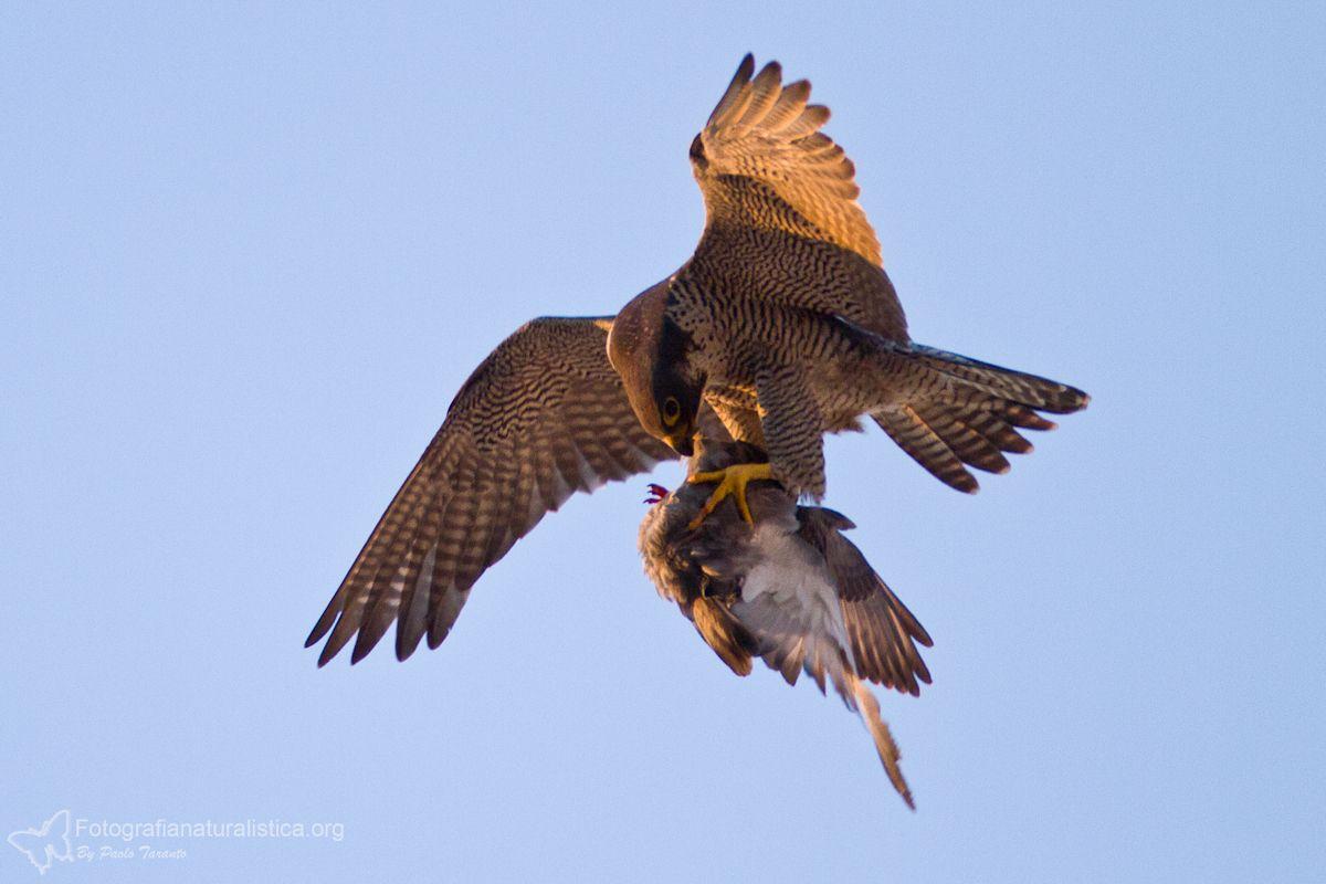 Aereo Da Caccia Falco : Falco pellegrino il rapace più veloce al mondo
