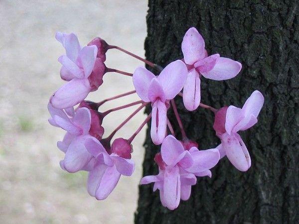 fiore-siliquastro-albero-di-giuda-600x450
