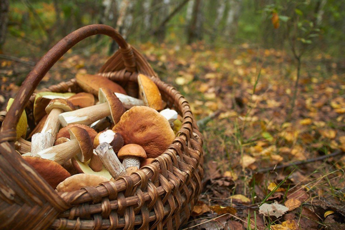 funghi commestibili: le differenze con quelli velenosi