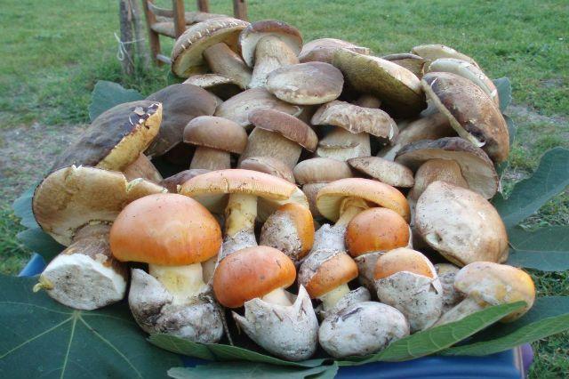 Ovulo fungo o amanita cesarea: buono o cattivo? Tutto quello che c'è da sapere