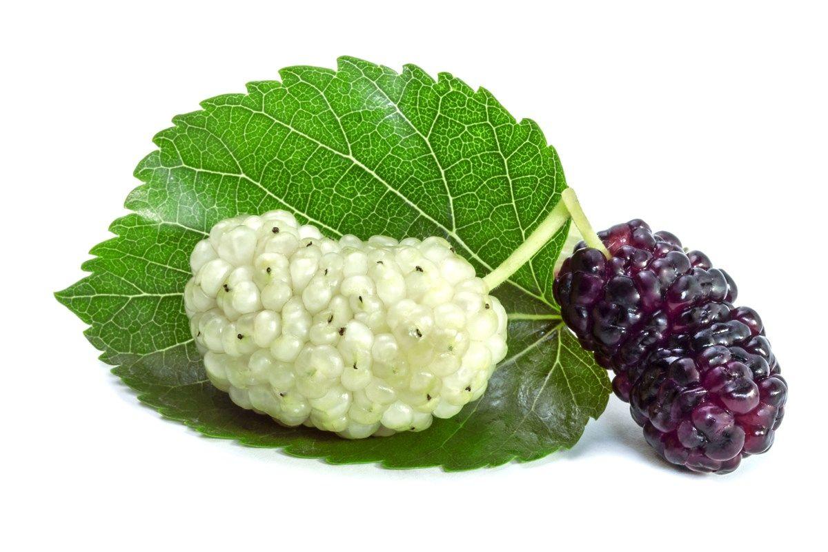 scopi ornamentali del gelso bianco