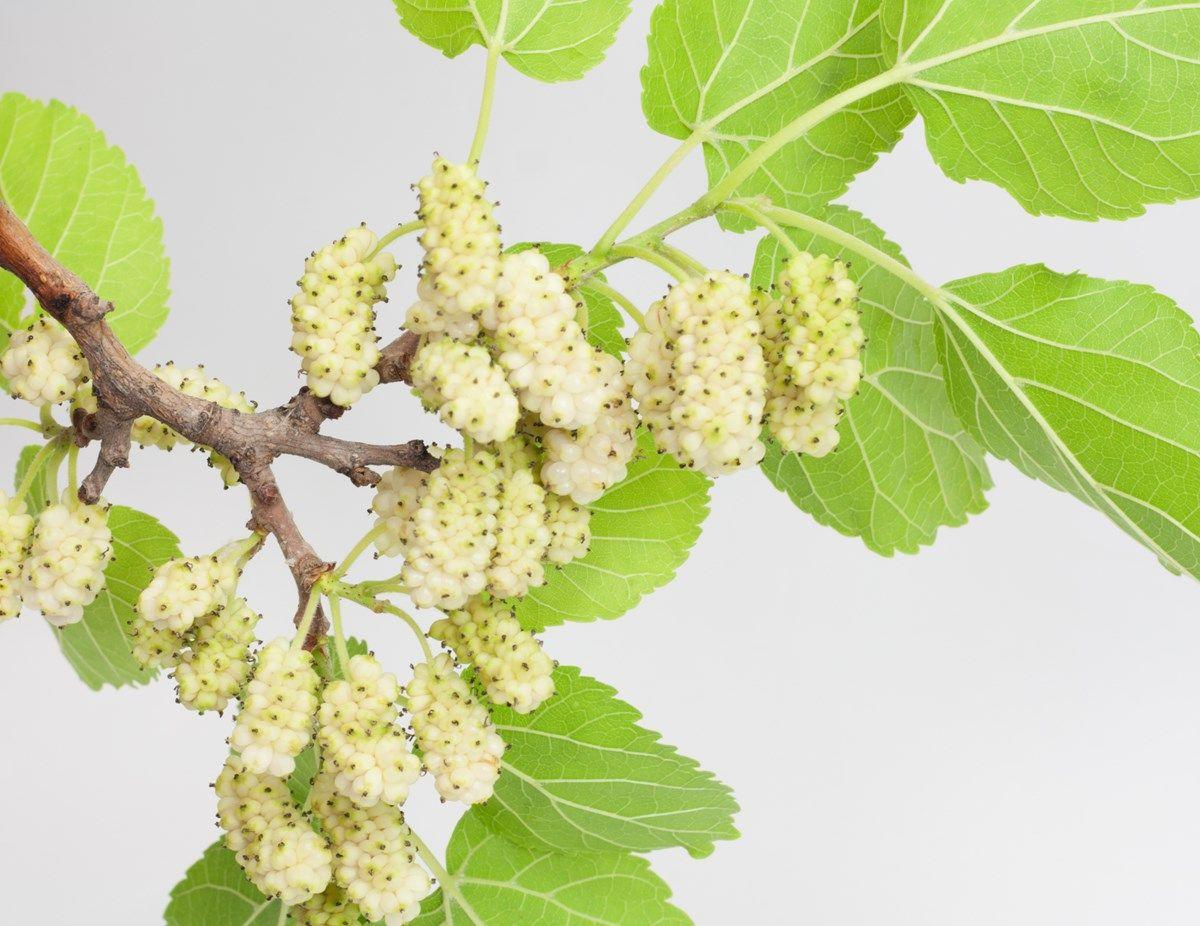 gelso bianco: scopi di coltivazione
