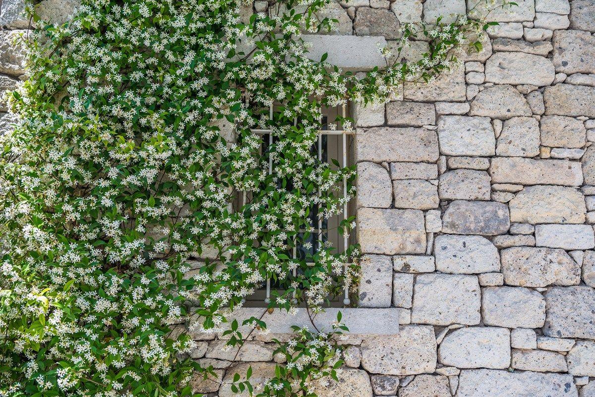 gelsomino rampicante: potatura e riproduzione