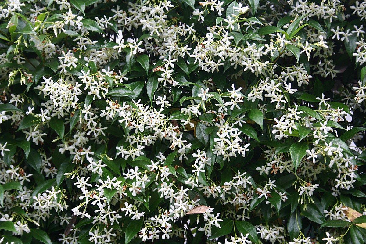 Piante Perenni Resistenti Al Freddo gelsomino rampicante: profumata soluzione per il giardino