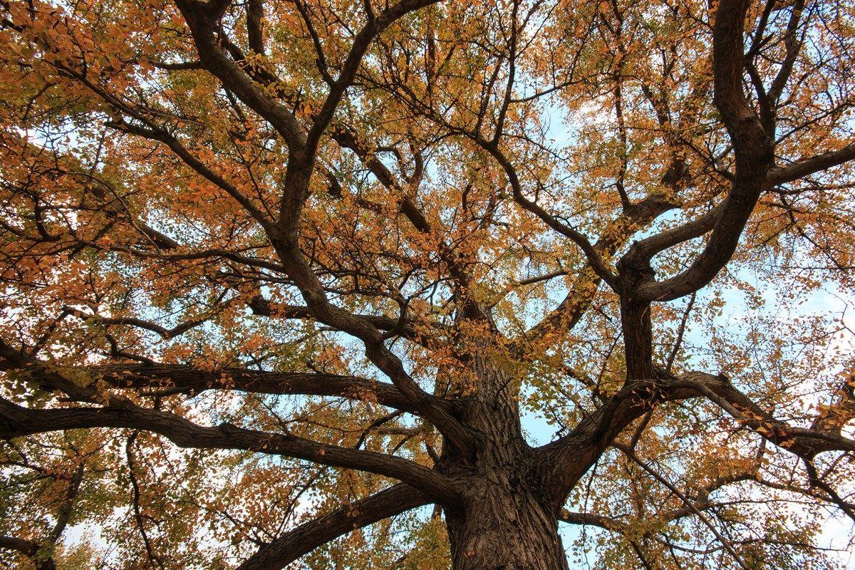 gimnosperme: le conifere