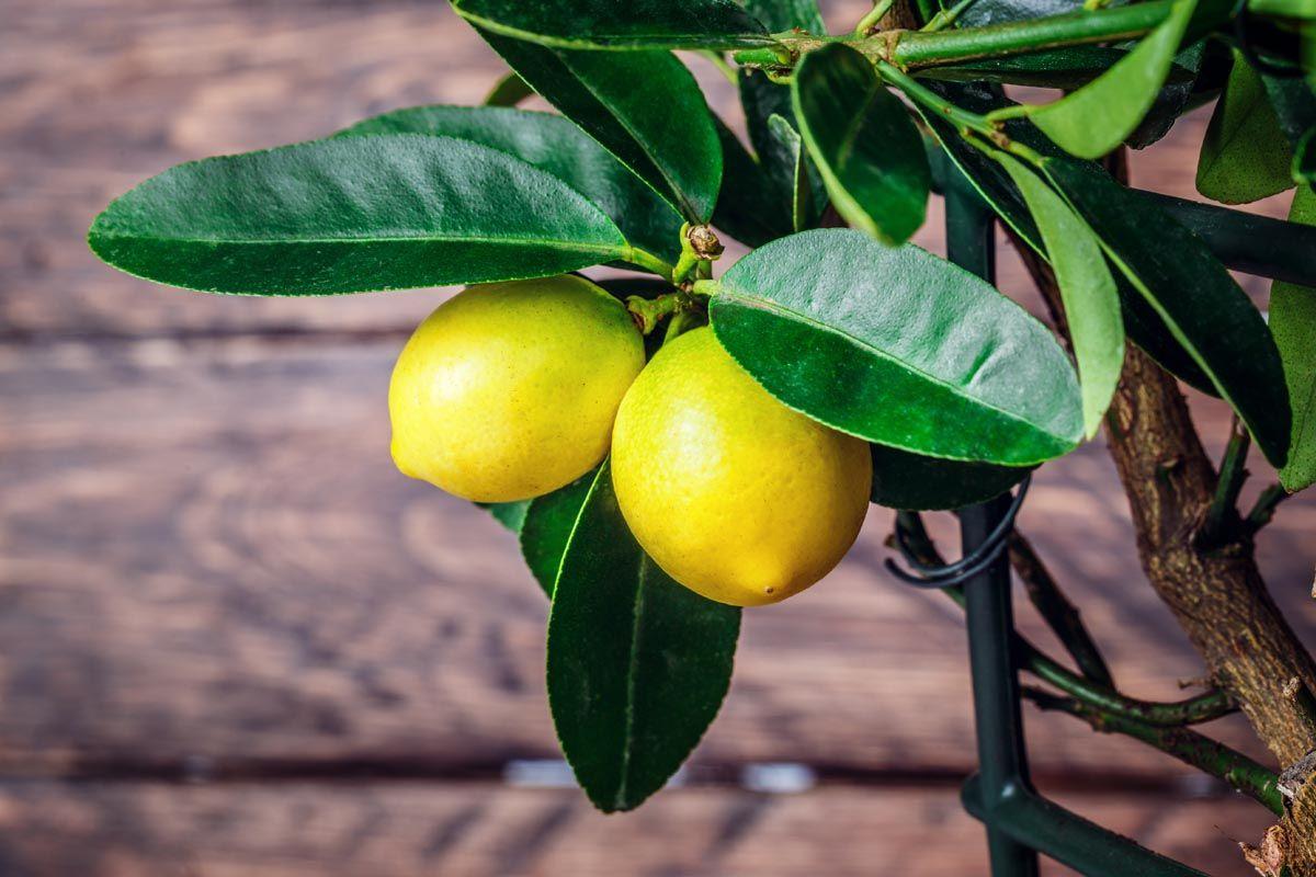 Quando fare l'innesto del limone