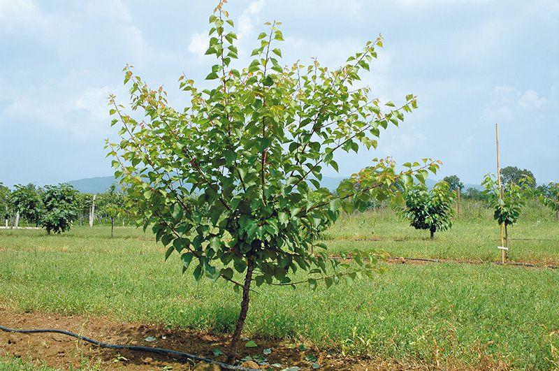 albicocco-in-allevamento-prima-della-potatura-verde