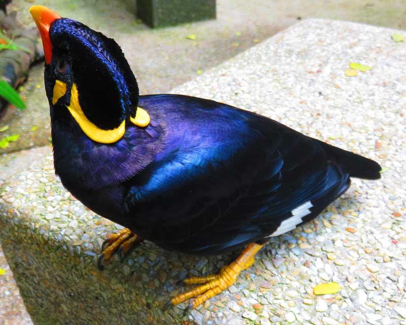merlo-indiano-uccello-parlante-gracula-religiosa