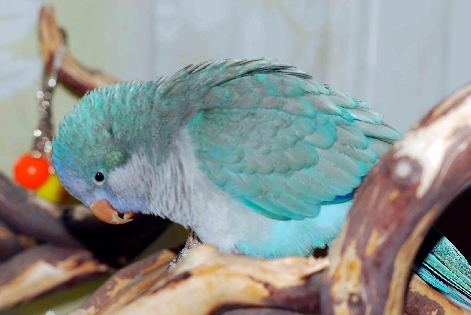 myiopsitta_monachus_-pet_-blue_mutation-8a