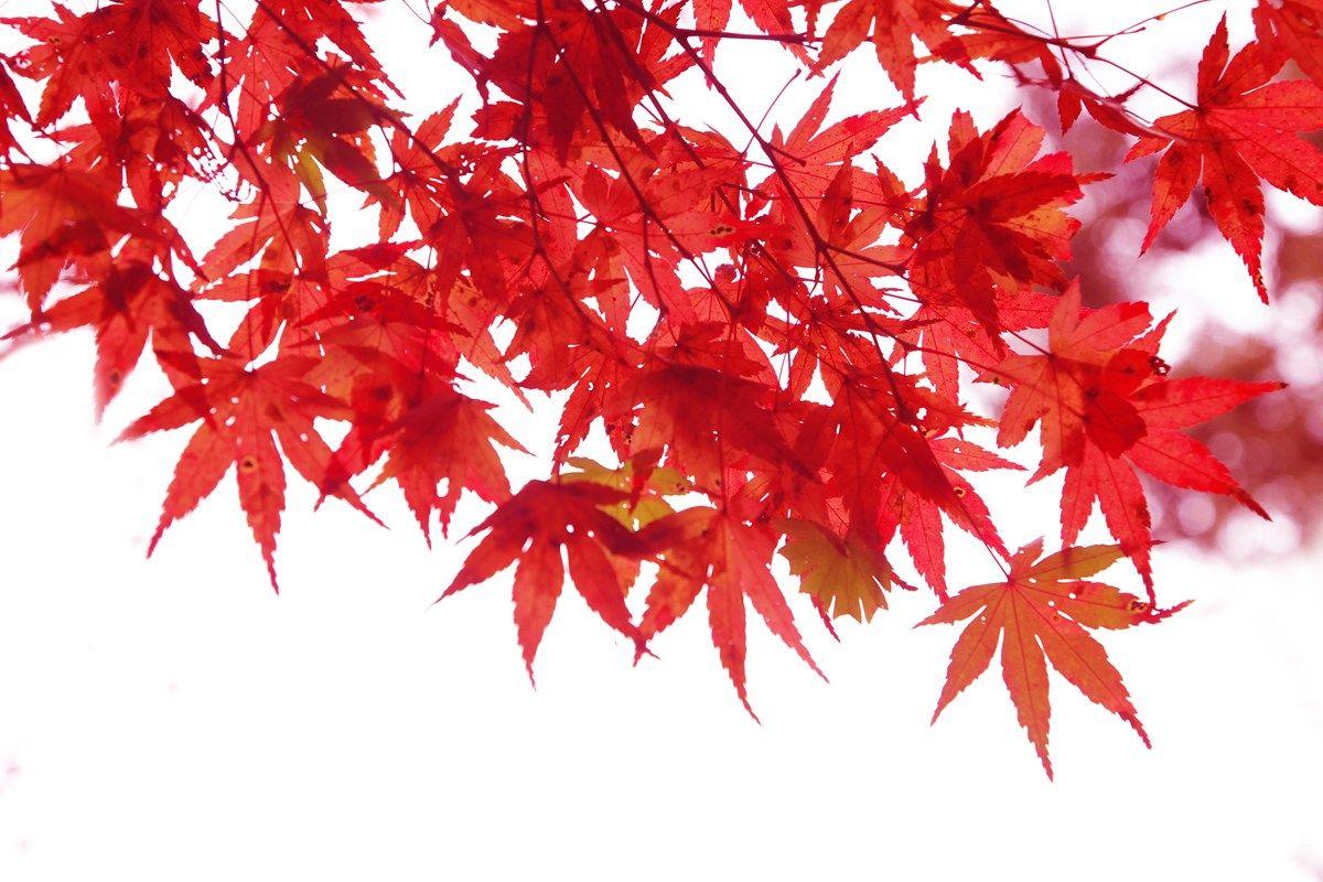 acero giapponese: sviluppo della pianta