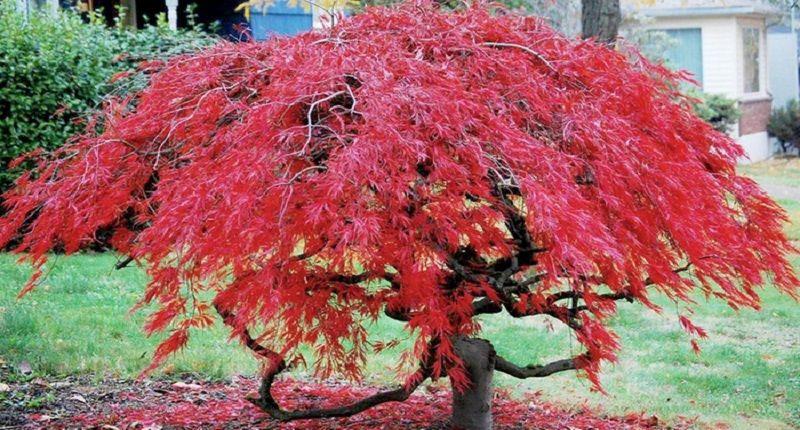 Acero giapponese arbusto elegante da coltivare in vaso for Acero rosso canadese prezzo