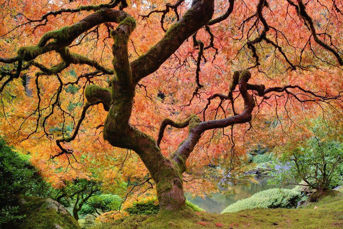 acero giapponese: le specie più belle
