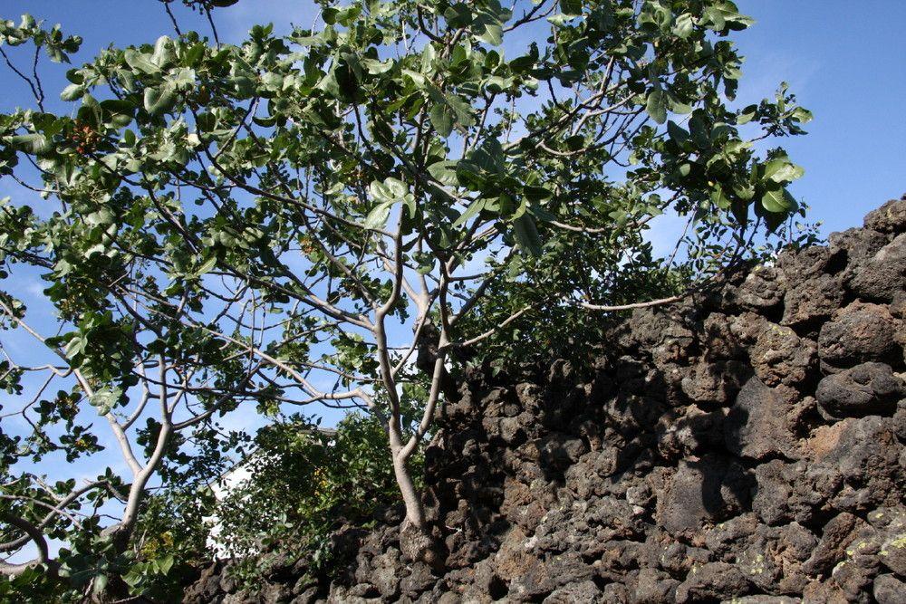albero-di-pistacchio-di-bronte-de38d2c9-e633-4ba1-b014-cc72a6487bfb