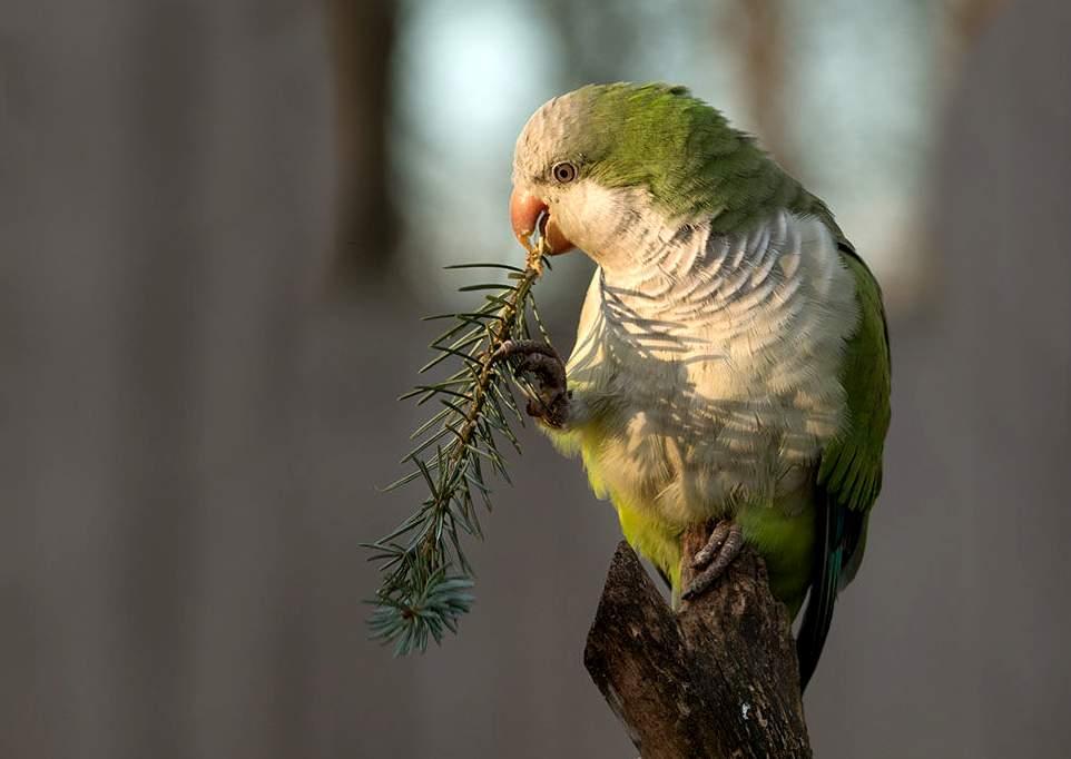pappagallo-monaco